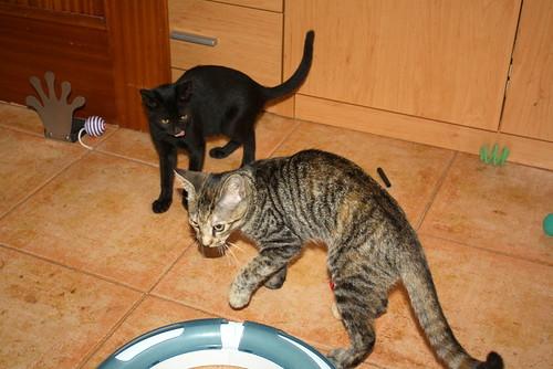 Pocahontas, gatita negra guapísima y dulce esterilizada, nacida en Mayo´19 en adopción. Valencia.  48576777727_e89465f46d