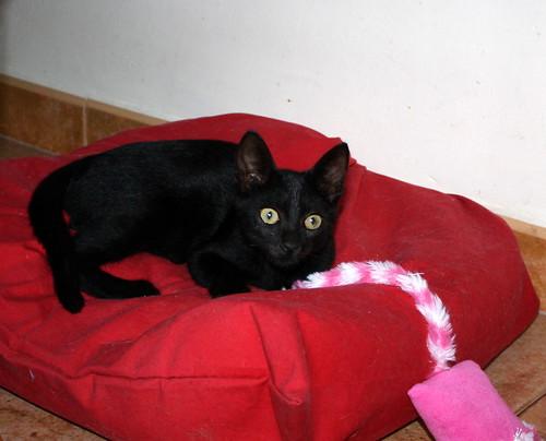 Pocahontas, gatita negra guapísima y dulce esterilizada, nacida en Mayo´19 en adopción. Valencia.  48576785012_54f3cf719c