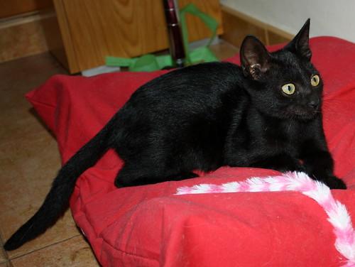 Pocahontas, gatita negra guapísima y dulce esterilizada, nacida en Mayo´19 en adopción. Valencia.  48576786257_52b7d4bc84