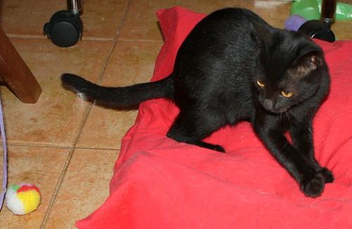 Pocahontas, gatita negra guapísima y dulce esterilizada, nacida en Mayo´19 en adopción. Valencia.  48576786867_9554de175e