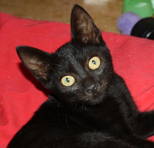 Pocahontas, gatita negra guapísima y dulce esterilizada, nacida en Mayo´19 en adopción. Valencia.  48576788097_d4c191fd37