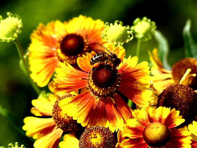 Heleniums (with Honey Bee) 19.8.19 my gdn