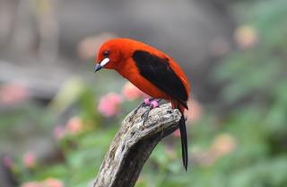 Marwell Wildlife- Brazilian tanager