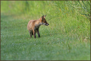 Red Fox (image 2 of 2)