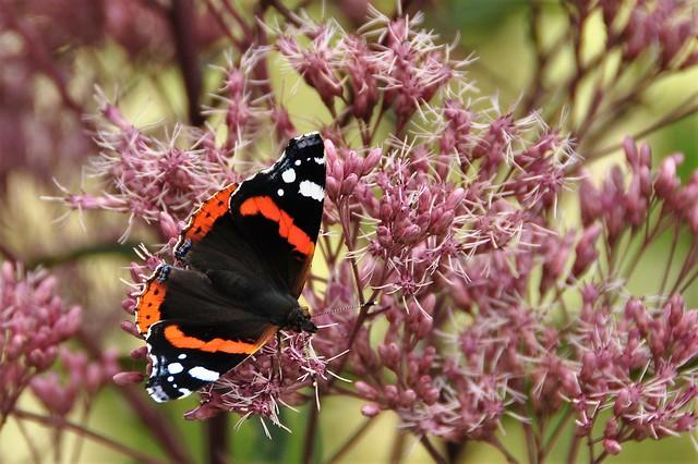 Nummervlinder  (Vanessa atalanta)