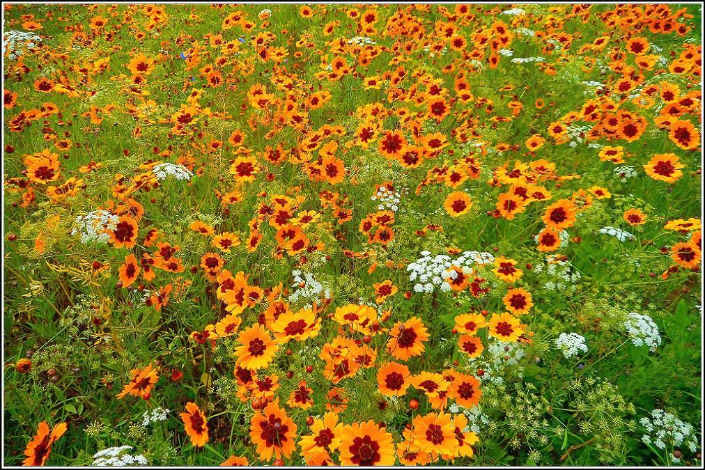 Texas Wildflowers ..