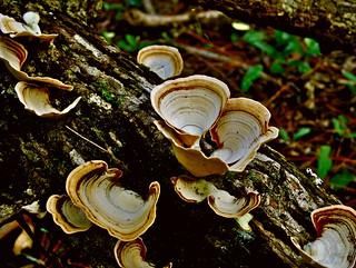 Fungus on Oak Log