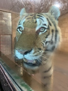 Bagai - Marwell Zoo