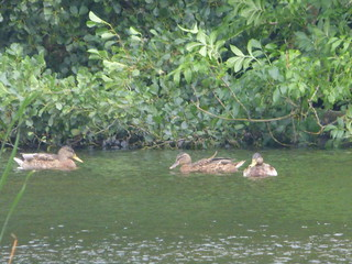 Berrington Pool at Berrington Hall - distant ducks