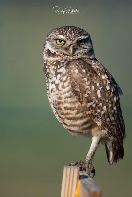 Burrowing Owl - Athene cunicularia | 2019 - 22