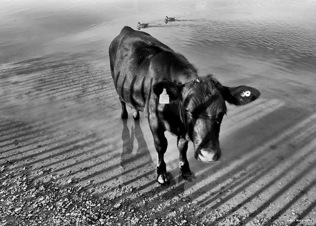 Cow in water, river Thame, Godstow Lock