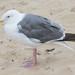 Western Gull - Adult - August