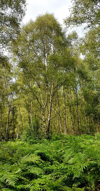 Birch trees in Puttenham Common, Surrey 2