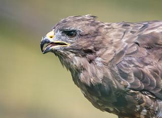 Buzzard - British Wildlife Centre