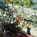 Piccoli pomodori nell' orto