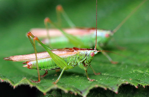 Long Winged Coneheads