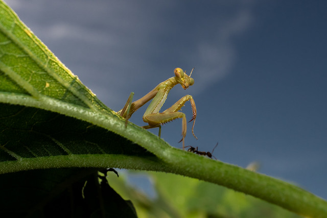 Praying Mantis and Ant