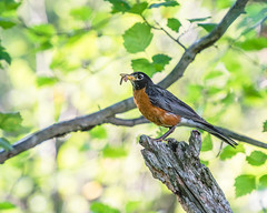 Robin With a Snack