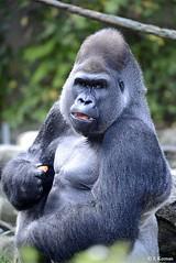 Western Lowland Gorilla - Gorilla gorilla gorilla