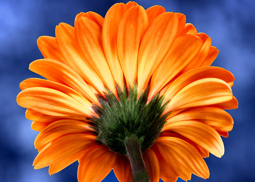 desktop orange painterly flower green texture nature colors yellow canon garden back petals backyard glow artistic cloudy availablelight tripod overcast naturallight daisy glowing fullframe dslr manualfocus tabletop macrolens gerberadaisy diffusedlight ef100mmf28macrousm primelens closeuup liveview 5dmkiv 5d4 canoneos5dmarkiv bluebackground blue complementerycolors backgroundblur blur bokeh