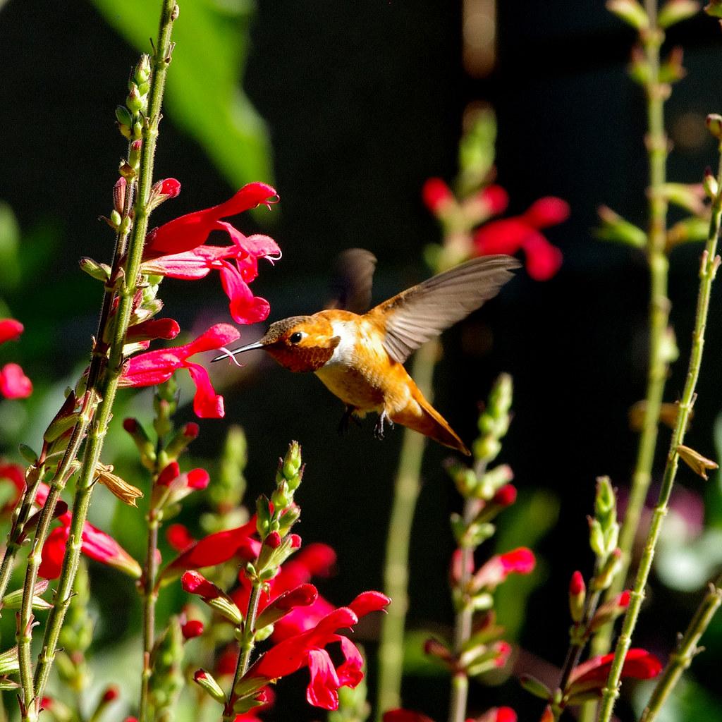 Rufous hummingbird (Selasphorus rufus) male.  Albuquerque, New Mexico, USA.