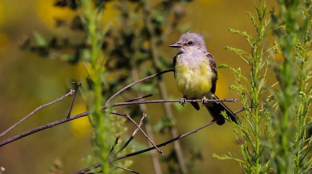 Cassin's Kingbird Madrona Marsh Torrance Southern California -171