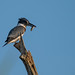 Flickr photo 'Belted Kingfisher, Megaceryle alcyon (Linnaeus, 1758)' by: Misenus1.
