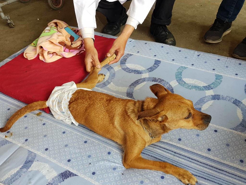 板橋動物之家癱瘓動物長照復健工作