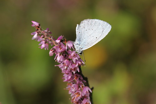 Holly Blue on bell heather.