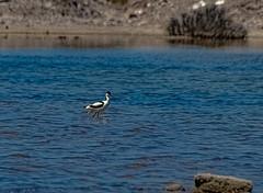 The Wildlife of the Salinas of Cabo de Gata.........., La Fauna de las Salinas del Cabo de Gata