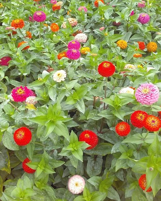 Front yard of zinnias #toronto #davenport #salemave #frontyard #garden #zombies #flowers #latergram