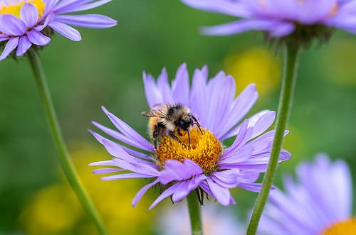 'Sleeping' Bumble Bee