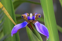 Falso-íris (Neomarica caerulea)