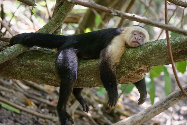 Capucin au repos... Corcovado...Costa Rica Album.
