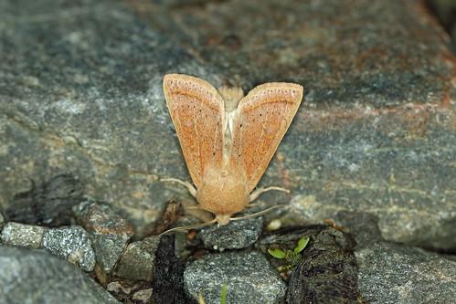 73.247 Powdered Quaker (Orthosia gracilis), Loch Rannoch, Perthshire