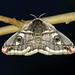 68.001 Emperor Moth (Saturnia pavonia), Loch Rannoch, Perthshire