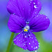 Purple Viola with Water Drops (I), 5.28.19