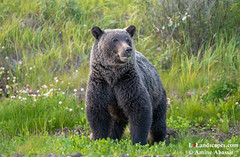Grizzly Bear encounter AB