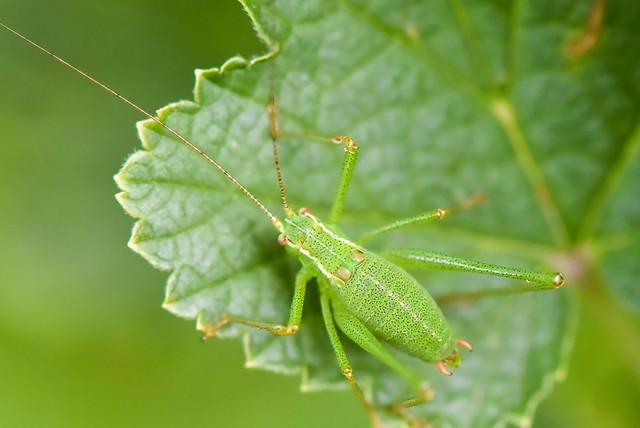 Leptophyes punctatissima  --  Sauterelle ponctuée  --  Speckled bush-cricket
