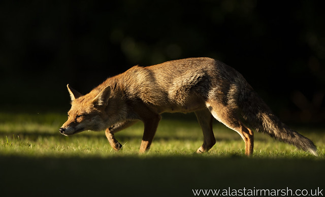 Fox at Sunset