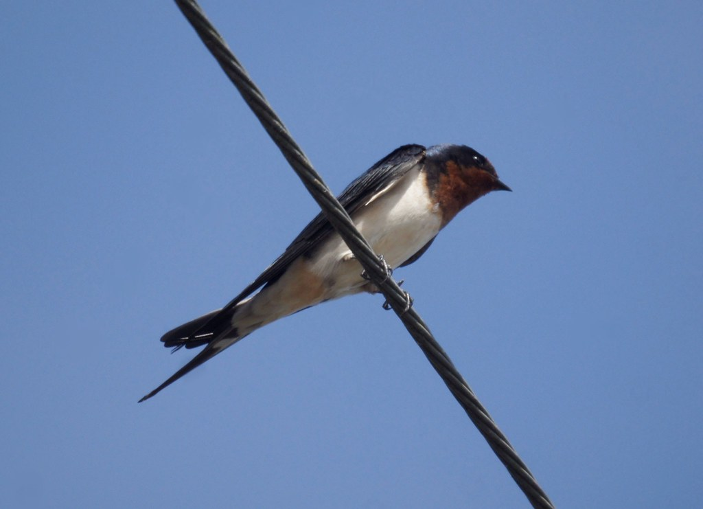Barn Swallow, Hirundo rustica, Деревенская ласточка