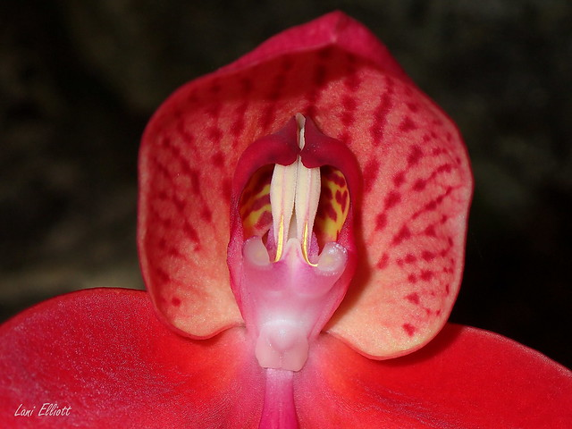 Little Red Riding Hood - Disa Orchid
