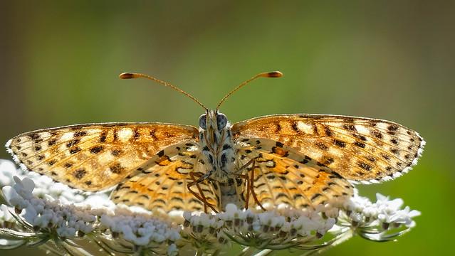 Le Grand Nacré. Papillon des alpes de sud.