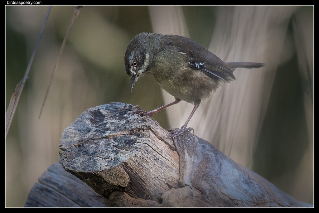 White-browed Scrubwren: Intense