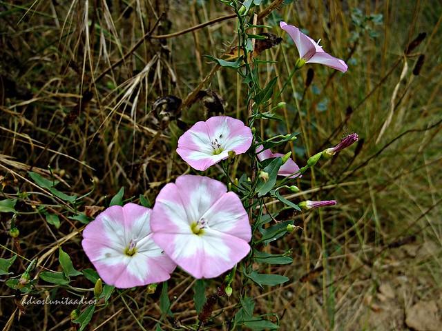 Alegría en el camino flora Mediterránea.  003