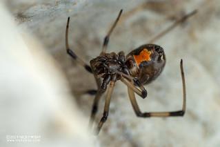 Brown widow spider (Latrodectus cf. geometricus) - DSC_8476