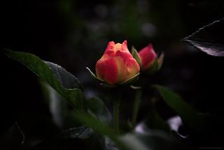 Waiting for More Light #MacroByColors #FlowersByColors (16-08-2019) by DillenvanderMolen #MrOfColorsPhotography #PortfolioOfColors MrOfColors.com