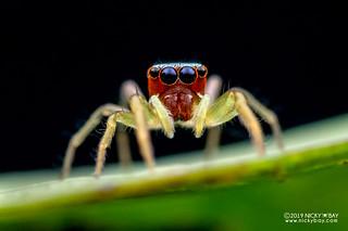 Jumping spider (Chrysilla lauta) - DSC_7462