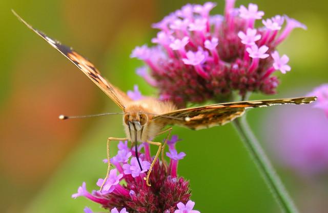 Butterfly taking a food break