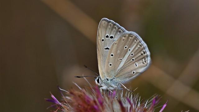 Polyommatus (Agrodiaetus) lycius